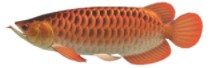 Arowana Fish Expensive ACNH