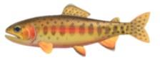 Golden Trout  Fish  Expensive ACNH