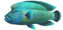 Napoleonfish Fish Expensive ACNH